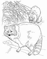 Raccoon Coloring Pages Printable Raccoons sketch template