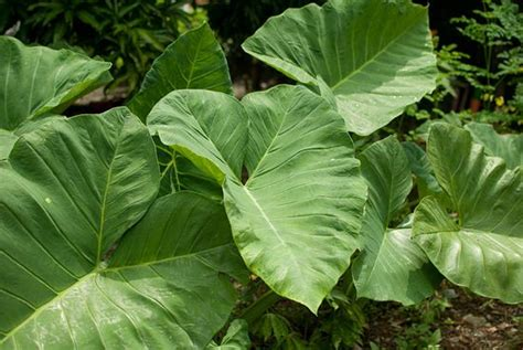 transplanting elephant ears how to grow elephant ear plants