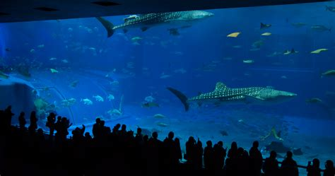 the sea aquarium file churaumi aquarium tank kuroshio sea jpg wikimedia commons