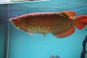 "Photo ""Top quality Chili Red Arowana fish and many others ..."