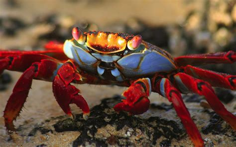 National Geographic Animal Hd Wallpapers - nature animal national geographic crab green hd wallpapers