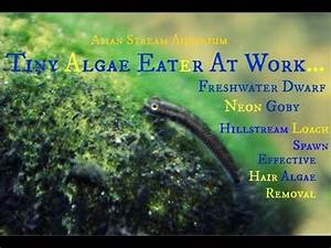 Freshwater Goby Plowing Through Hair Algae