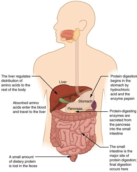 chemical digestion  absorption  closer  anatomy