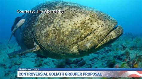 grouper goliath controversy harvesting met plan controversey raises wpec