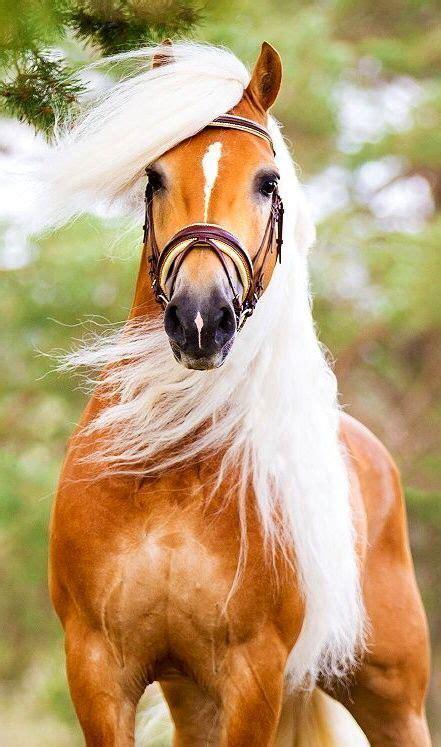 horse horses palomino cute haflinger animals elsa equine pretty cavalos gorgeous cheval wattpad animais names unique adorable most beauty morris
