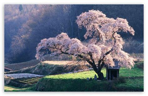 Spring In Japan 4k Hd Desktop Wallpaper For 4k Ultra Hd Tv