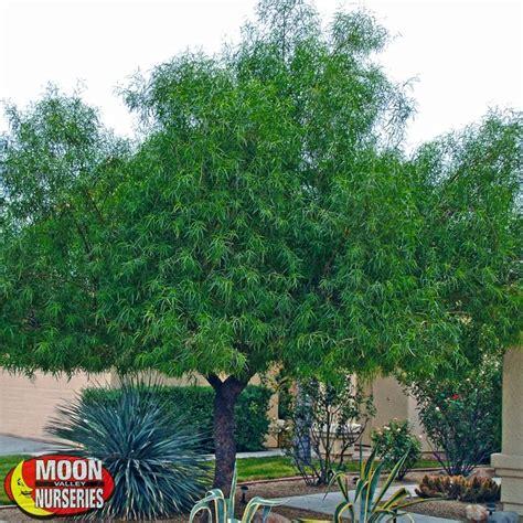 Palm Tree Nursery by African Sumac Evergreen Trees Moon Valley Nurseries