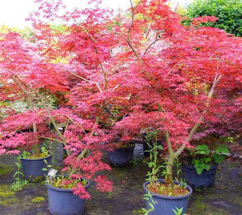 plantes oasis erable du japon shojo nomura
