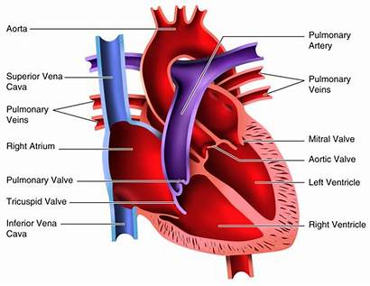Heart Blood Dissection Worksheet Answers Clipart Lungs