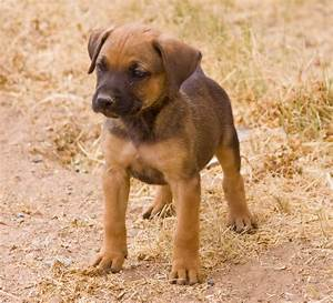 Boxer German Shepherd Rottweiler Mix
