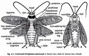 Dissection Of Cockroach  With Diagram