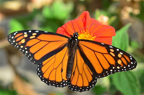 Monarchs' Wings Yield Clues To Their Birthplaces
