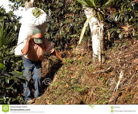 If it's a good premium bend then it has to come from a. Coffee Plantation Guatemala 11 Stock Image - Image of bean, grains: 5374661