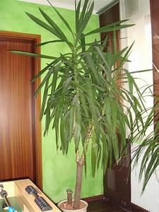 Yucca Palme Garten : yucca palme pflanze zimmerpflanze wintergarten in zirndorf ~ Lizthompson.info Haus und Dekorationen