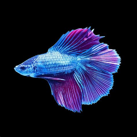 male halfmoon doubletail betta petco
