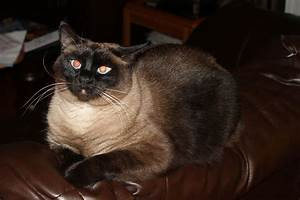 File:A traditional Seal Point Siamese Cat.jpg - Wikimedia ...