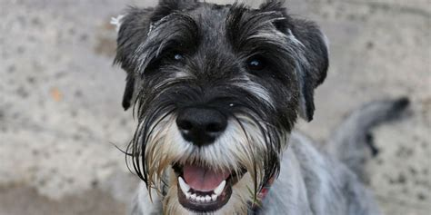 standard schnauzer breed description history  overview