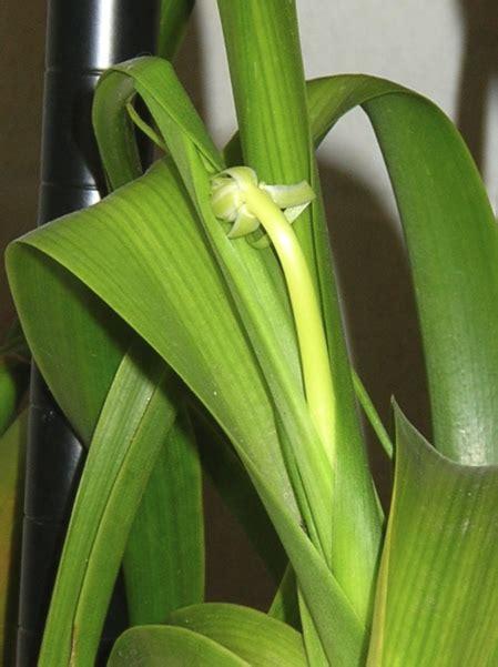 bulb plant  long green leaves garden design ideas