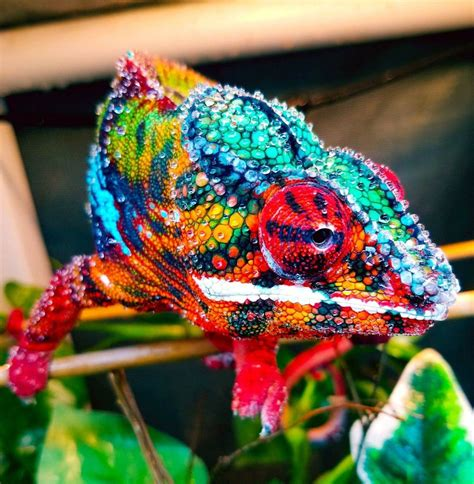 ambilobe panther chameleon herpetology