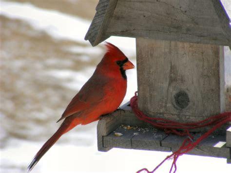 cardinal bird feeder is your bird feeder birds this canadian study