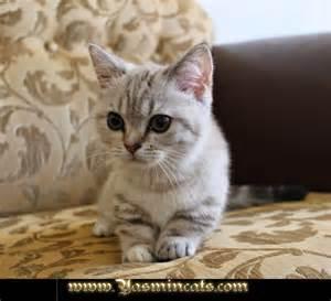 munchkin cats for munchkin kittens for nisan 2014