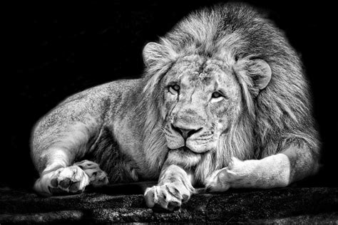 monochrome animals lion black white wallpapers hd