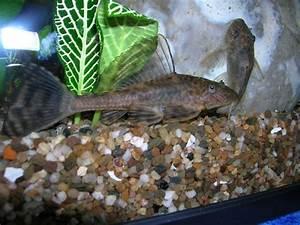 Poisson Aquarium Eau Chaude : hypostomus plecostomus pleco laveur suceur poisson d ~ Mglfilm.com Idées de Décoration