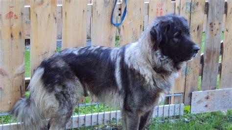 burghausen donner der serbische hirtenhund   ein