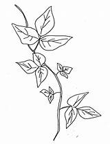 Ivy Poison Coloring Drawing Vine Plant Template Sketch Leaves Pages Tattoo Plants Sketches Drawings Leaf Border Clipart Templates Flowers Edera sketch template
