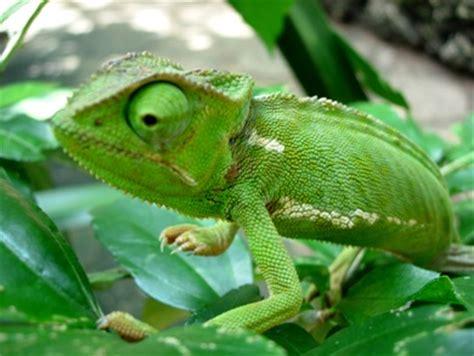 types of chameleons chameleon