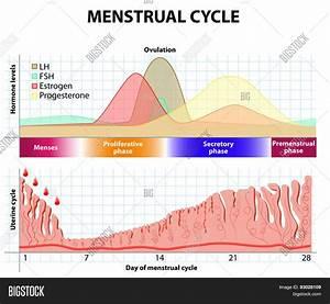 Menstrual Cycle. Endometrium Vector & Photo | Bigstock