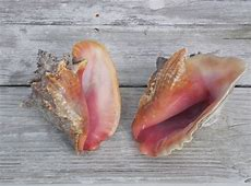 All About Conch A Turks & Caicos Treasure