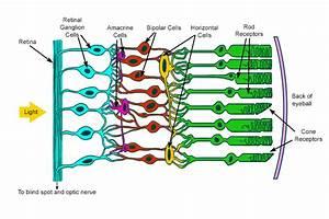 Eyes Diagram Rods Cines : rods and cones are called photoreceptors specialised cells ~ A.2002-acura-tl-radio.info Haus und Dekorationen