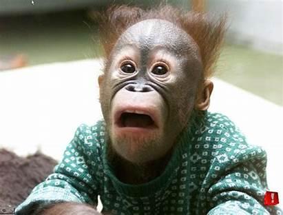 Funny Chimpanzee Animals Cool Amazing