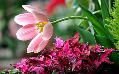 Flower Desktop Flowers Backgrounds Wallpapers Flores Rose
