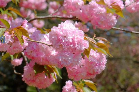 Pink Cherry Blossoms In Full Springtime Bloom Stock Photo
