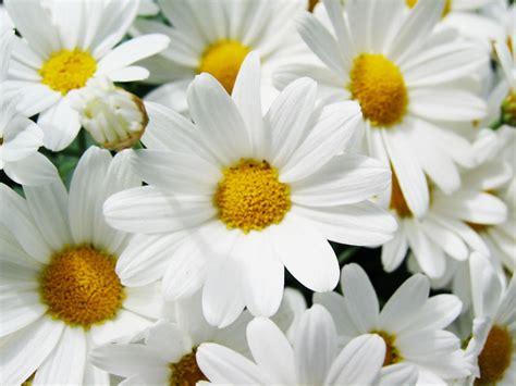 margherite fiori fiori di co e di montagna page 4