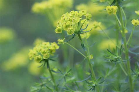 Pflanzen Im Garten Erkennen by Unkraut Erkennen Gallery Of Unkraut Pimpinelle With