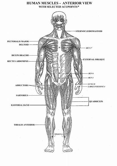 Muscle Worksheet Muscular Muscles System Coloring Diagram