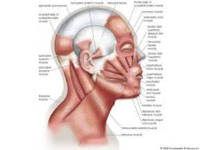 Facial Expression Muscles
