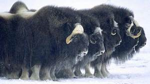 Tundra Ecosystem What Animals Live In Greenland Reference Com
