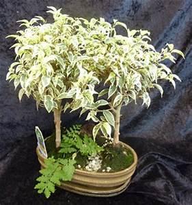 Comment Tailler Un Ficus : horticulture plantes d 39 int rieur garden center ~ Melissatoandfro.com Idées de Décoration