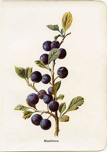 Image result for sloe berries botanical illustration ...