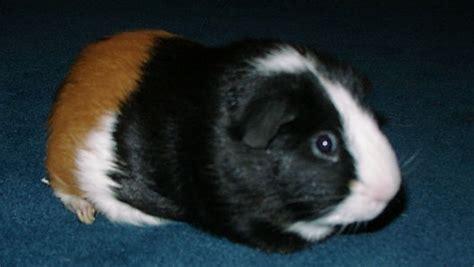 guinea pig names guinea pig names driverlayer search engine