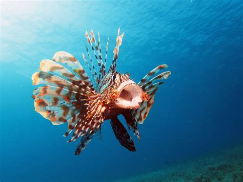 invasive lionfish  delicious    safe  eat