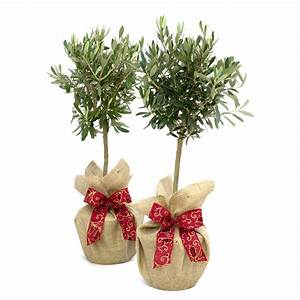 plant gift pair of olive trees medium by giftaplant ...