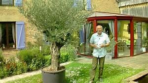 Planter Un Olivier En Pot : comment cultiver un olivier en terre ou en pot olivier ~ Dailycaller-alerts.com Idées de Décoration