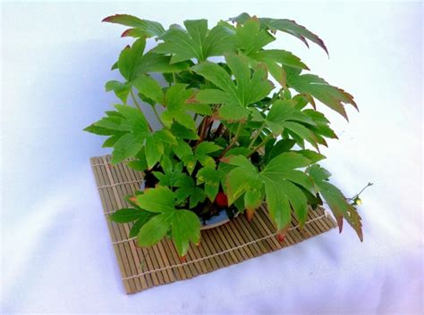 plante vivace couvre sol mukdenia rossii 171 karasuba 187 culture