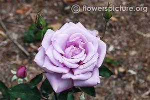 Mainzer Fastnacht Rose : rose varieties with names gallery 2 ~ Orissabook.com Haus und Dekorationen