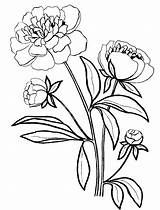 Peony Coloring Pages Drawing Line Nature Clipartmag sketch template